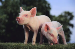 Three Little Pigs: Not Just A Children's Story